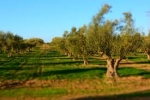 LA TUNISIA: POSSIBILE ALTERNATIVA ALL'OLIO ITALIANO